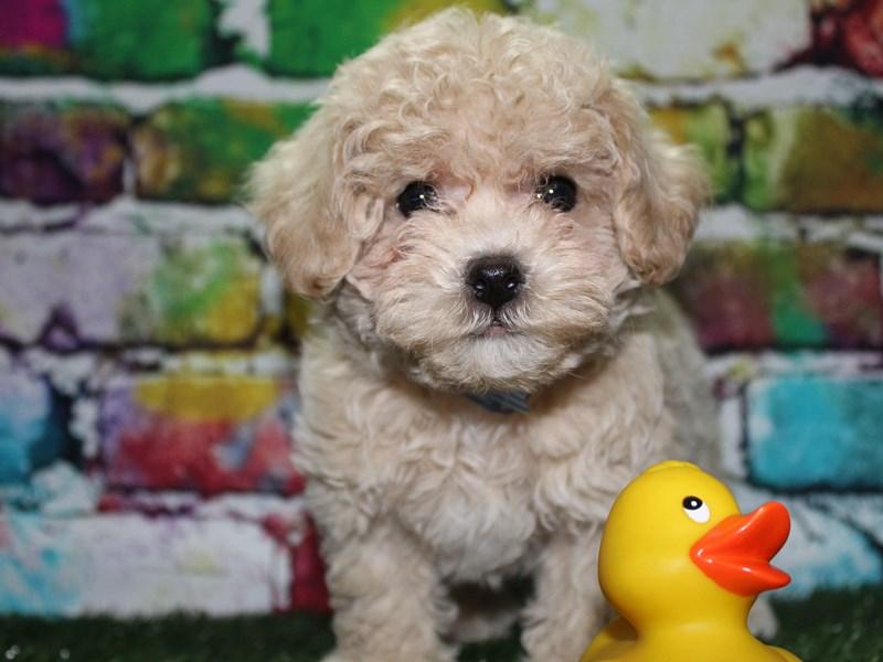 Bichon Poo-Male-CREAM-2702444-Pet City Houston