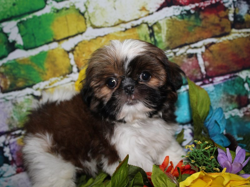 Shih Tzu-Female-Brindle Wh-2708394-Pet City Houston