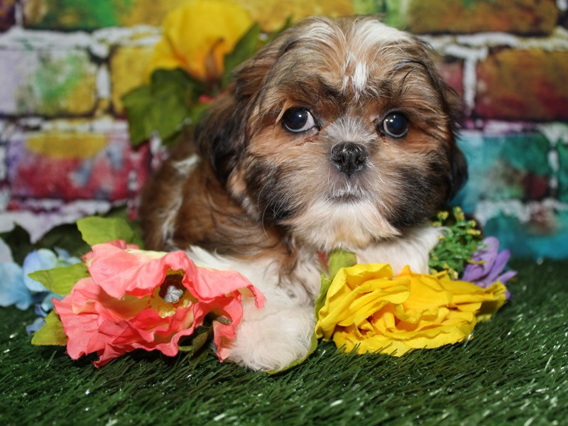 Shih Tzu-Male-Brindle Wh-2708393-Pet City Houston