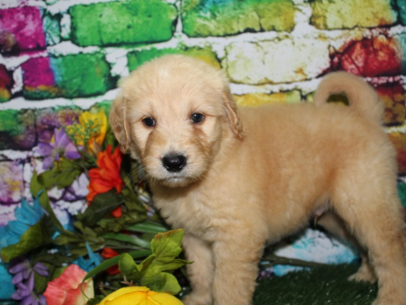 Goldendoodle-Male-Golden-2708546-Pet City Houston