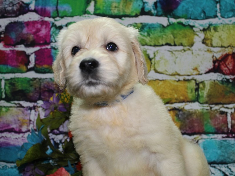 Goldendoodle-Male-Golden-2708551-Pet City Houston