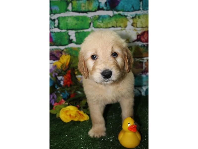 Goldendoodle-Male-Golden-2708564-Pet City Houston