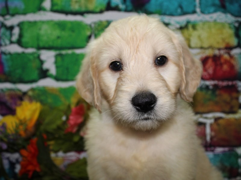 Goldendoodle-Male-Golden-2708542-Pet City Houston