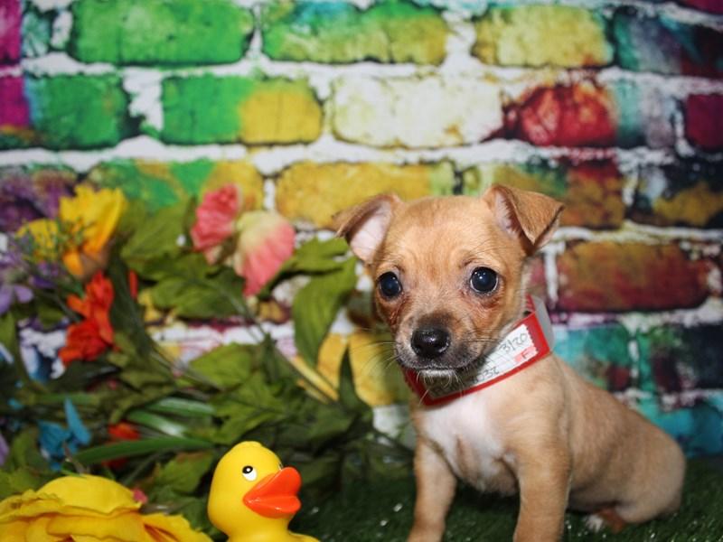Chihuahua-Female-TAN-2709437-Pet City Houston