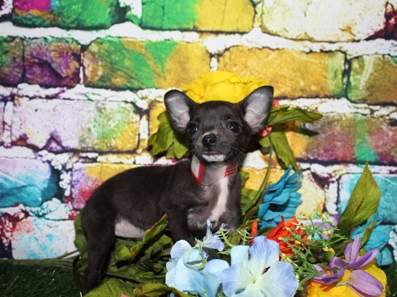Chihuahua-Female-BLACK-2709442-Pet City Houston