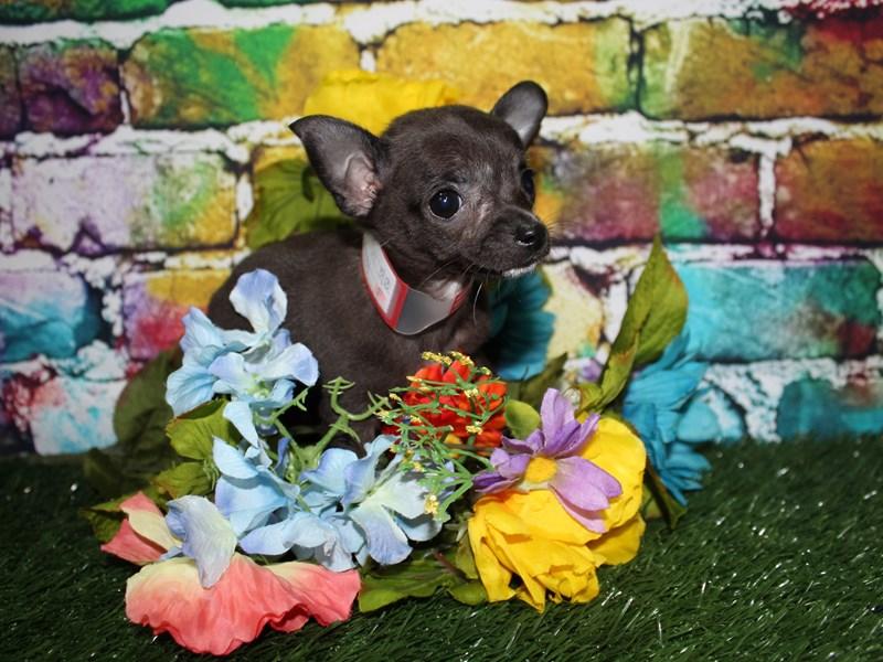 Chihuahua-Female-BLACK-2709443-Pet City Houston
