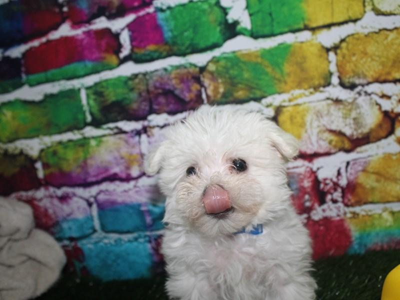 Maltese-Male-WHITE-2708710-Pet City Houston