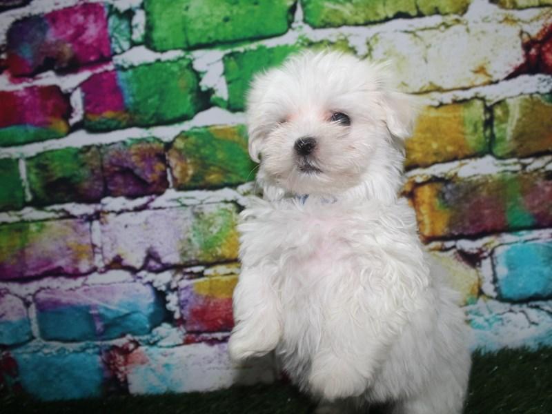 Maltese-Male-WHITE-2708713-Pet City Houston