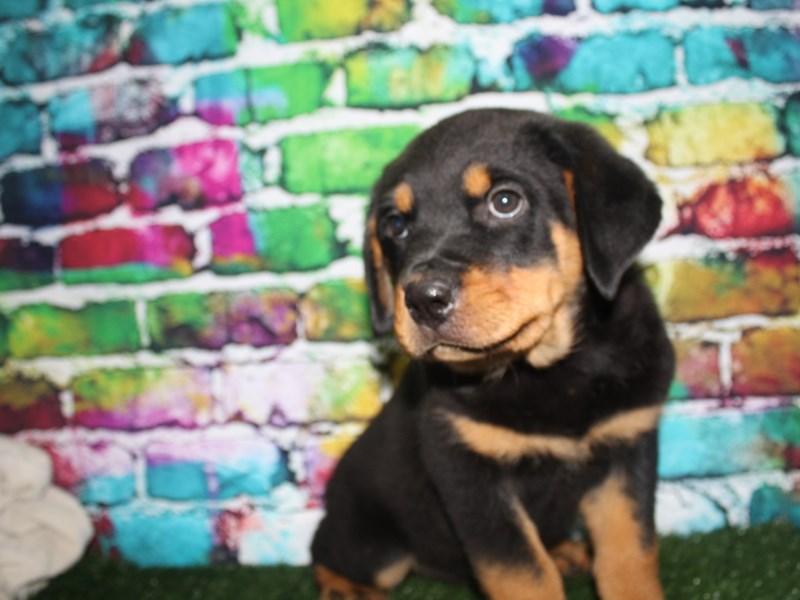 Rottweiler-Male-BLACK/TAN-2708768-Pet City Houston
