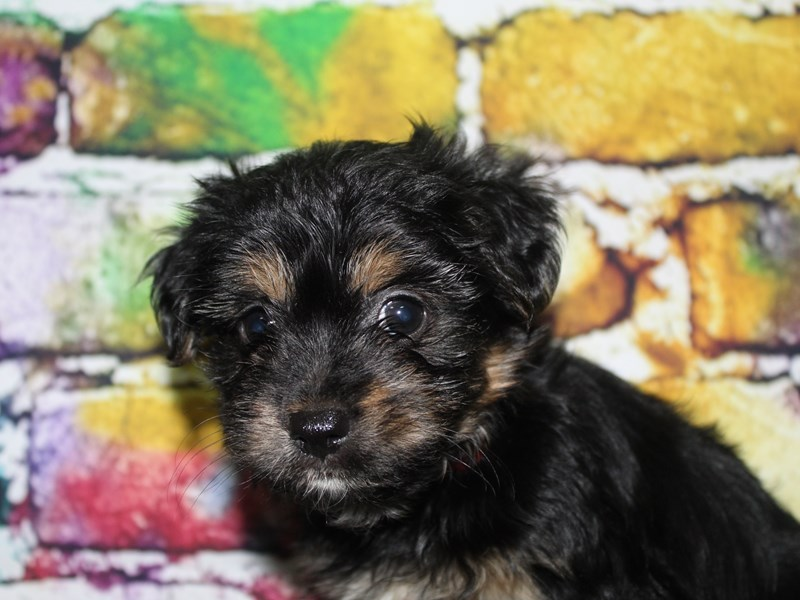 YorkieApso-Female-Blk/ Tan-2713919-Pet City Houston
