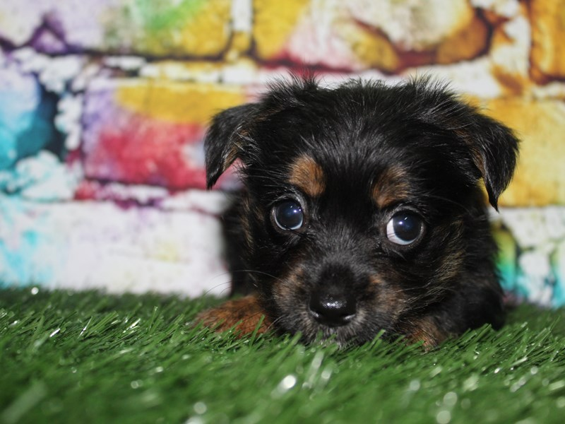 YorkieApso-Female-BLK/ TAN-2713959-Pet City Houston