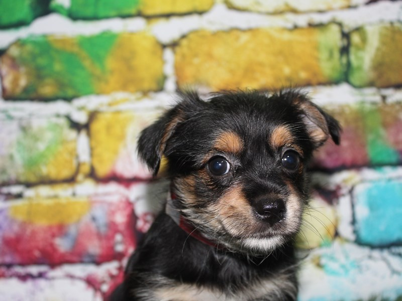YorkieApso-Female-BLK/ TAN-2713956-Pet City Houston