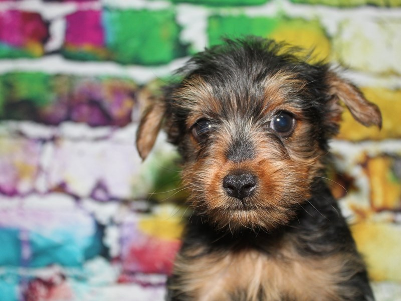 Yorkshire Terrier-Male-BLK/TAN-2713981-Pet City Houston