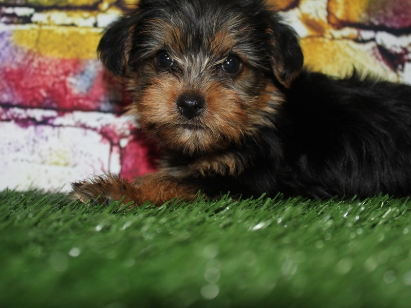 Yorkshire Terrier-Female-BLK/TAN-2713971-Pet City Houston