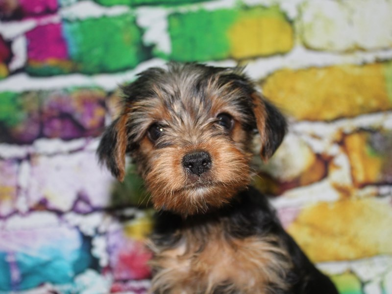 Yorkshire Terrier-Female-BLK/TAN-2713978-Pet City Houston