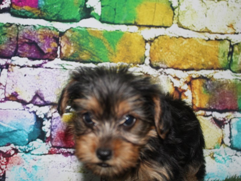 Yorkshire Terrier-Female-BLK/TAN-2713974-Pet City Houston