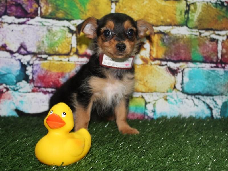 Yorkie Poo-Female-BLK / TAN-2715202-Pet City Houston