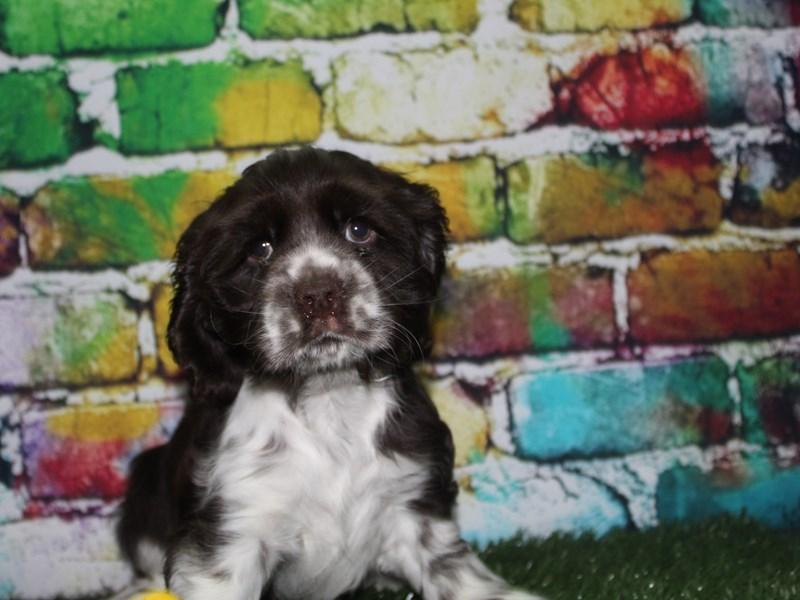 Cocker Spaniel-Female-Chocolate Parti-2716099-Pet City Houston