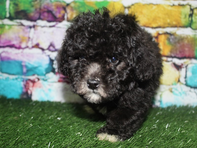 Bichapoo-Male-BLK-2721914-Pet City Houston