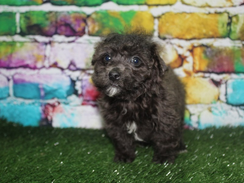 Bichapoo-Male-BLK-2721917-Pet City Houston