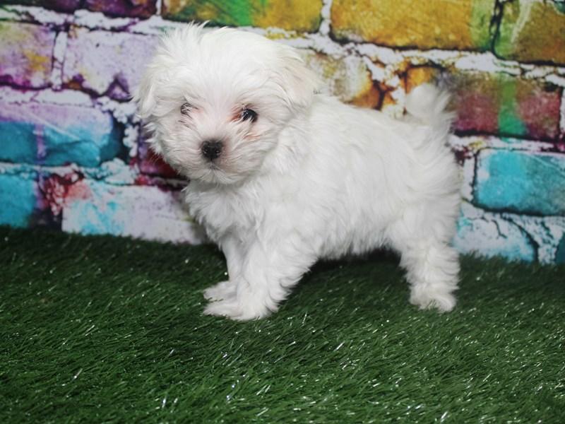 Maltese-Female-WHITE-2721968-Pet City Houston