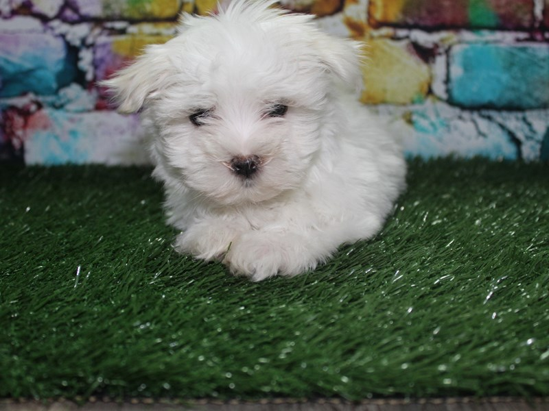 Maltese-Female-WHITE-2721969-Pet City Houston