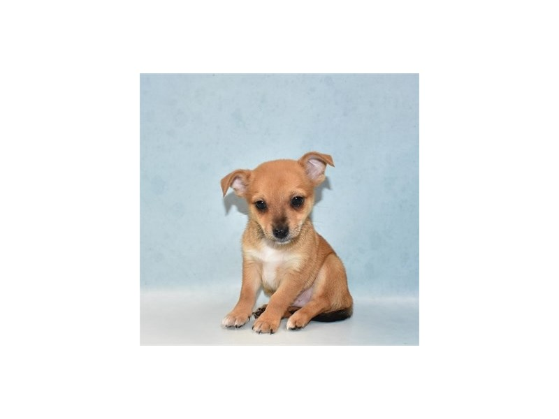 Pomchi-Male-Fawn-2727177-Pet City Houston