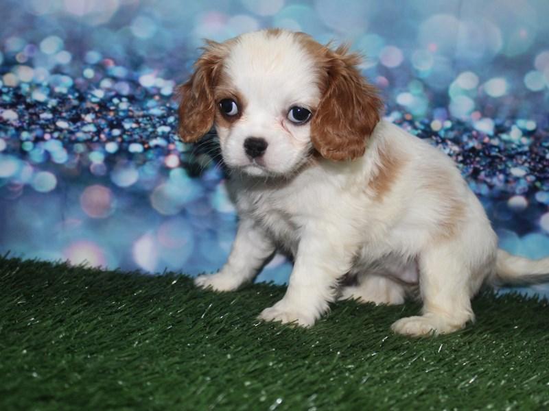 Cavalier King Charles Spaniel-Female-BLENHIEM-2727842-Pet City Houston