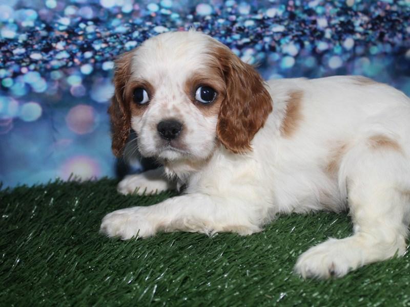 Cavalier King Charles Spaniel-Female-BLENHIEM-2727844-Pet City Houston