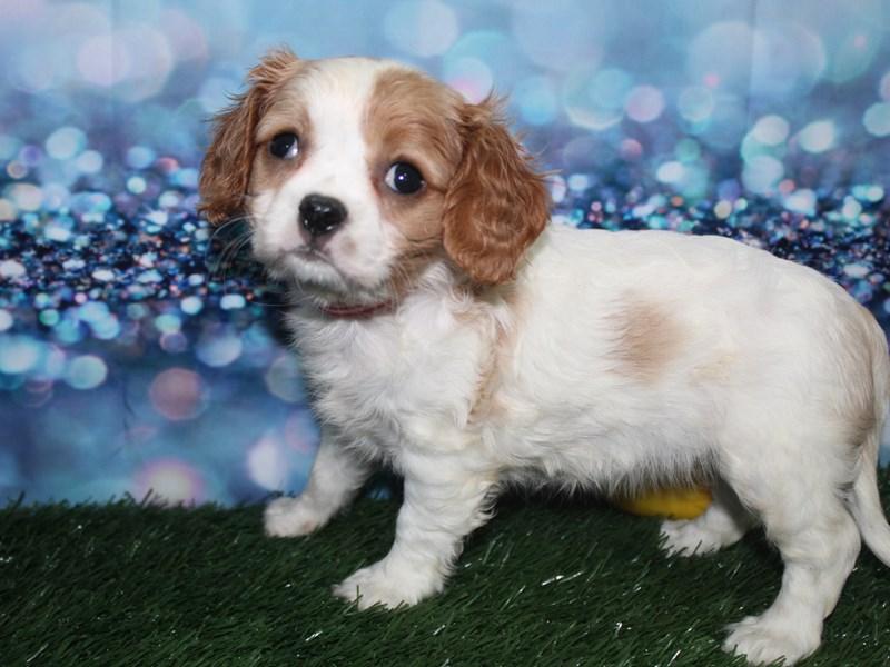 Cavalier King Charles Spaniel-Female-BLENHIEM-2727840-Pet City Houston