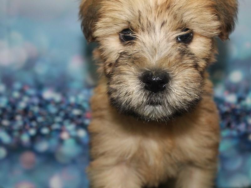 Soft Coated Wheaten Terrier-Male-Wheaten-2727684-Pet City Houston