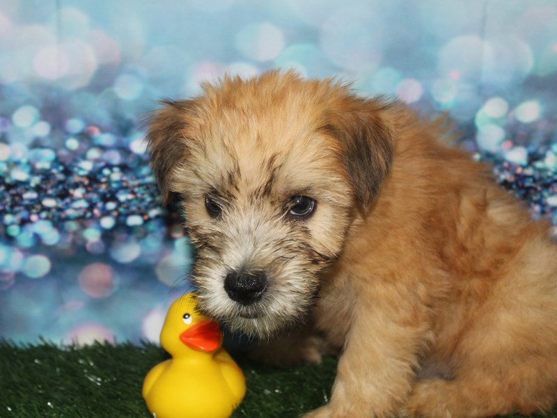 Soft Coated Wheaten Terrier-Male-Wheaten-2727681-Pet City Houston