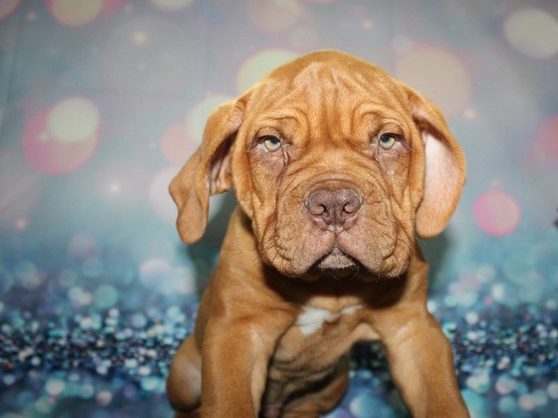 Dogue De Bordeaux-Male-RED-2727642-Pet City Houston
