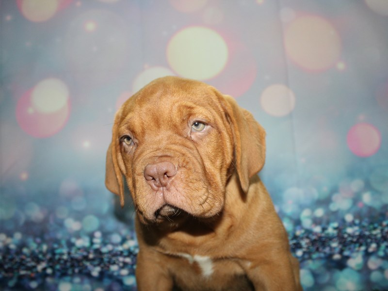 Dogue De Bordeaux-Female-RED-2727643-Pet City Houston
