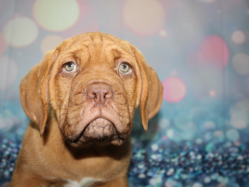 Dogue De Bordeaux-Female-RED-2727644-Pet City Houston