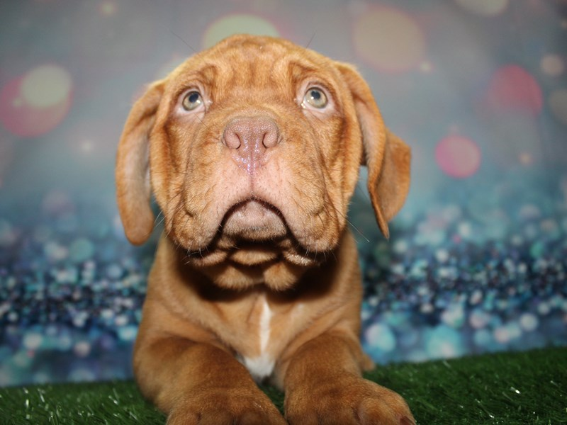 Dogue De Bordeaux-Female-RED-2727645-Pet City Houston
