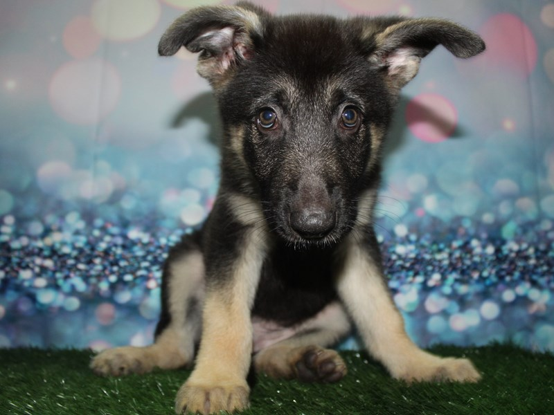 German Shepherd-Female-BLK/TAN-2732925-Pet City Houston