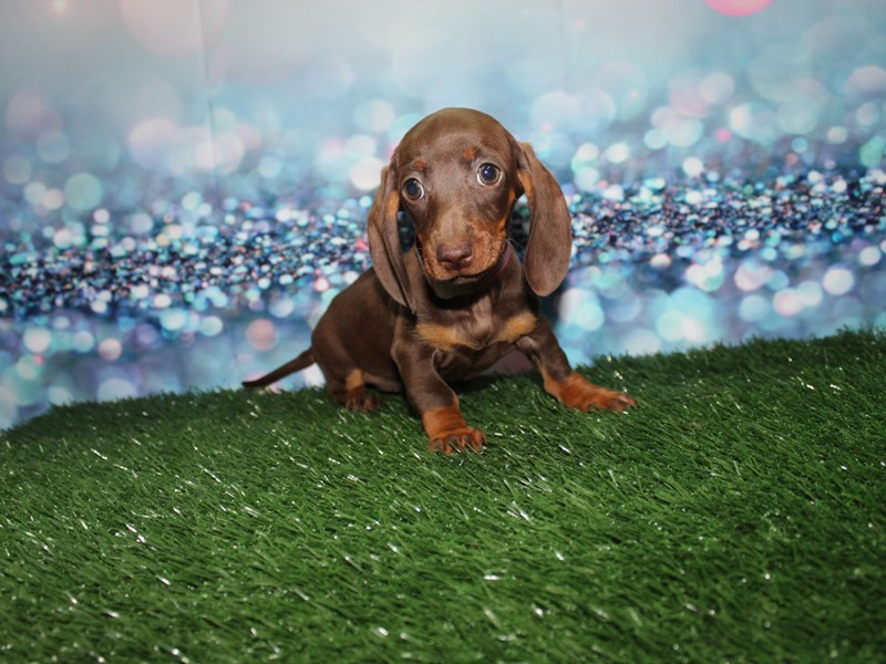 Miniature Dachshund-Female-Choc/Tan-2732863-Pet City Houston