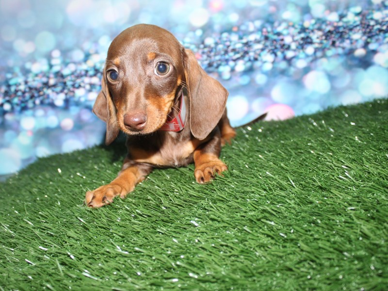 Miniature Dachshund-Female-choc/tan-2732835-Pet City Houston