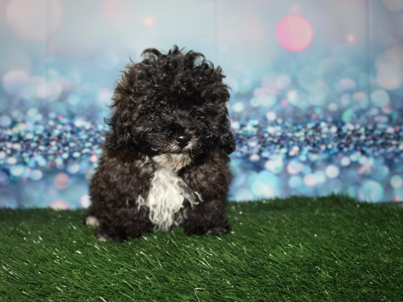 Poodle-Male-GRIZZLE-2732913-Pet City Houston