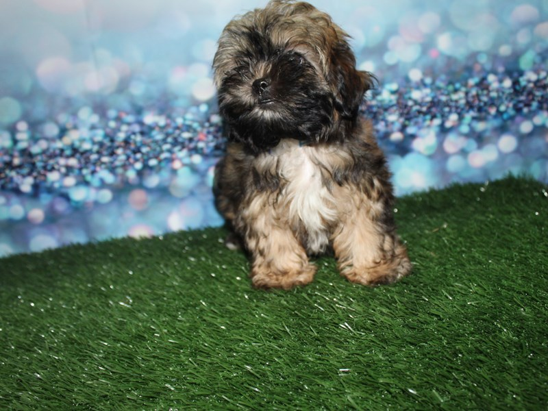 Shih-Poo-Male-GRIZZLE-2732912-Pet City Houston