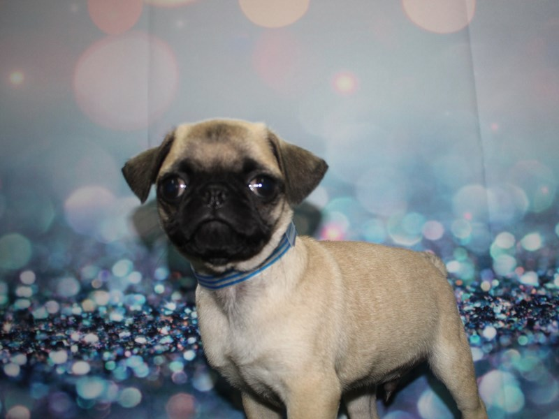 Pug-Male-Fawn-2732878-Pet City Houston