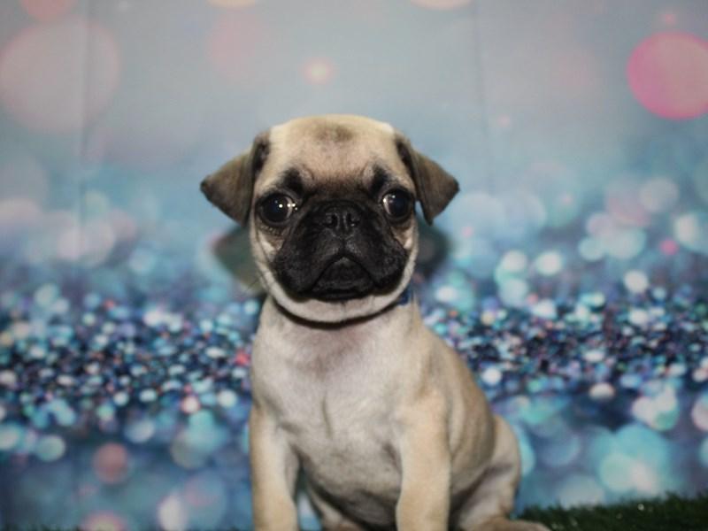 Pug-Male-Fawn-2732869-Pet City Houston