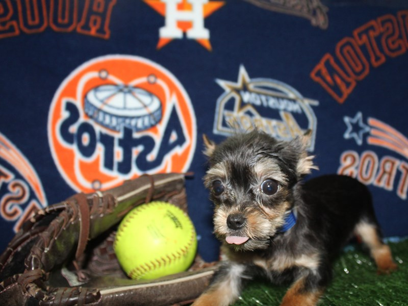 Chorkie-Female-Blk/ Tan-2736038-Pet City Houston