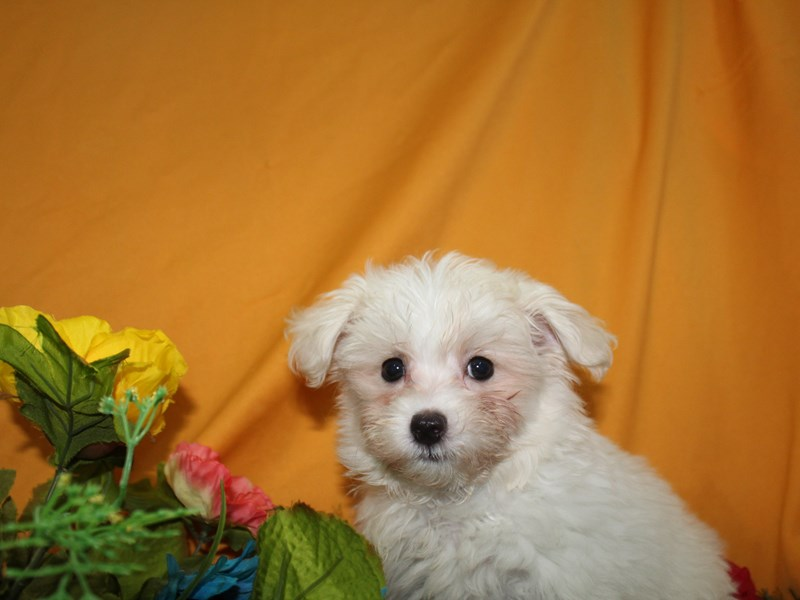 Maltipoo-Female-WHITE-2736093-Pet City Houston