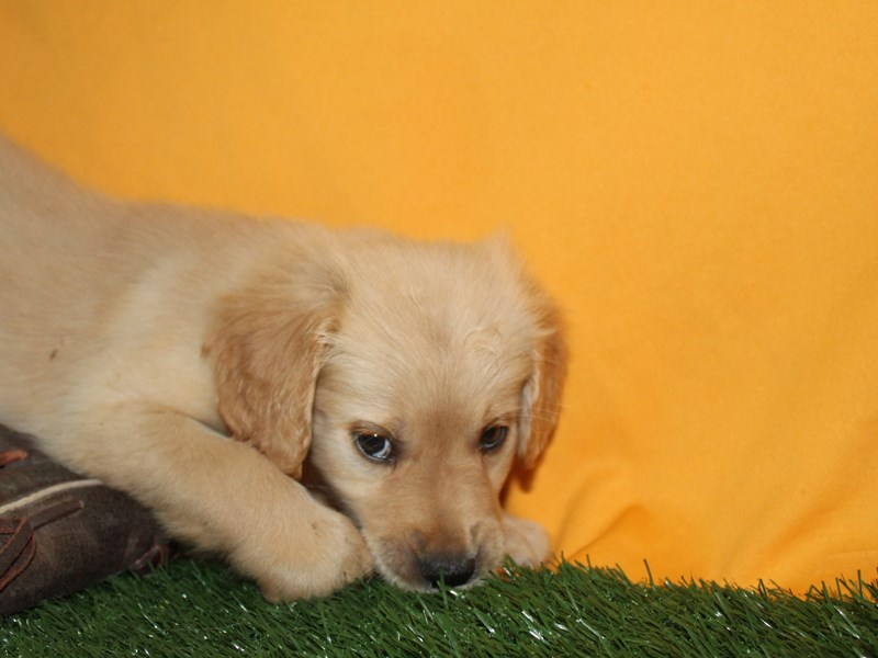 Golden Retriever-Male-Golden-2736193-Pet City Houston