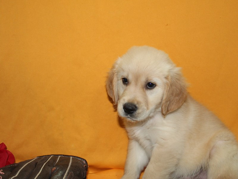 Golden Retriever-Male-Golden-2736196-Pet City Houston