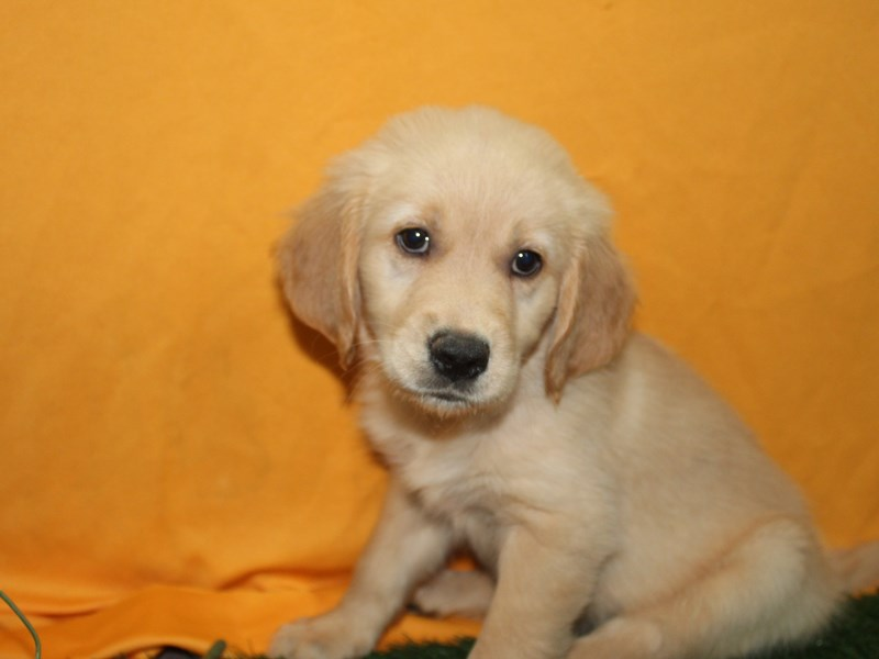 Golden Retriever-Male-Golden-2736200-Pet City Houston