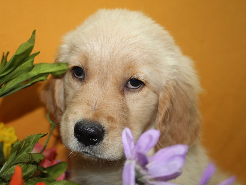 Golden Retriever-Male-Golden-2736207-Pet City Houston