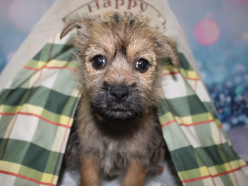 Cairn Terrier-Female-WHEATEN-2740279-Pet City Houston